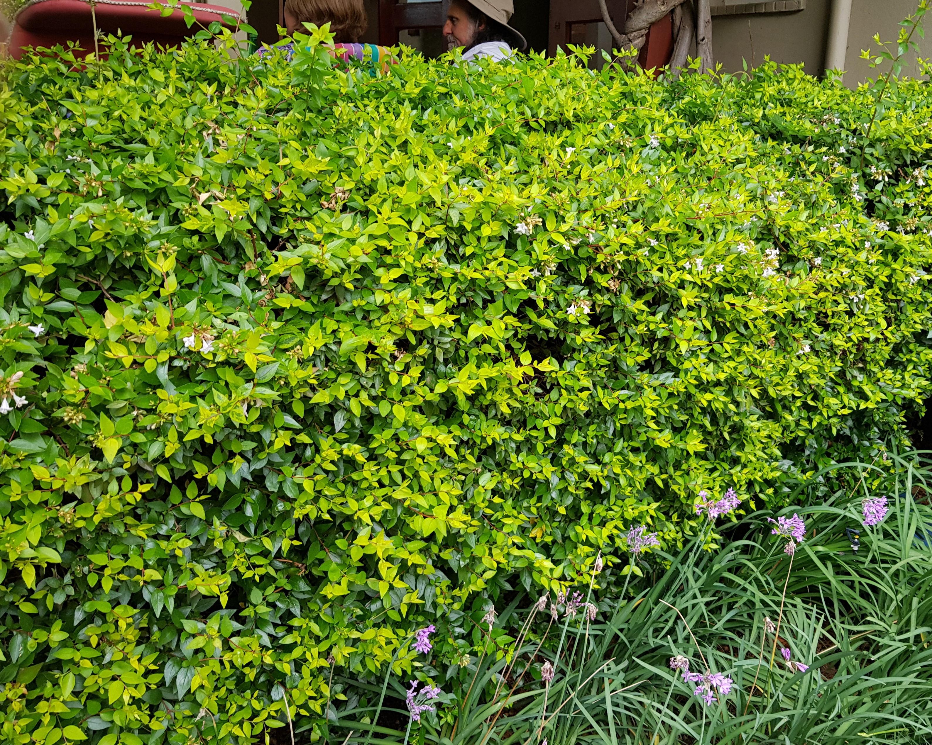 Abelia Francis Mason Windy Willows