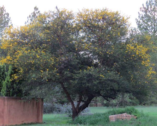 Acacia Karoo