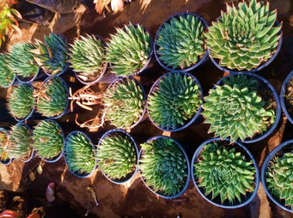 Aloe aristata